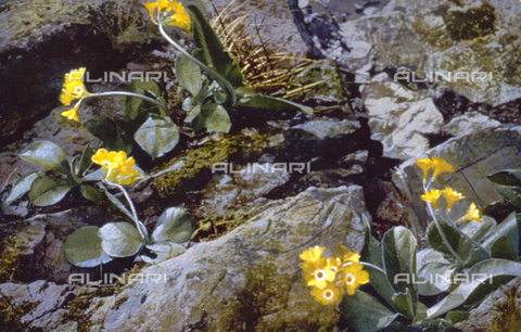 AVQ-A-000948-0017 - A wild 'Primula Auricula'