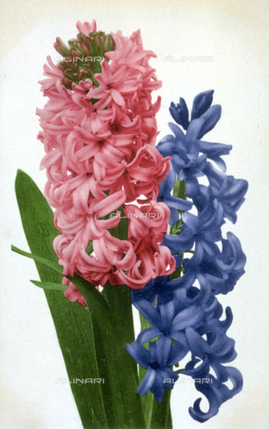 AVQ-A-000948-0018 - Two hyacinth flowers. The different colors, pink and blue, bear witness to the varieties in color of the species