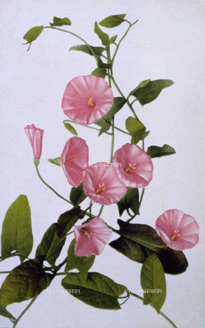 AVQ-A-000948-0021 - A spray of flowering bindweed