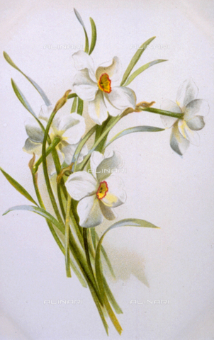 AVQ-A-000948-0033 - Small bunch of flowering narcissus on a white ground