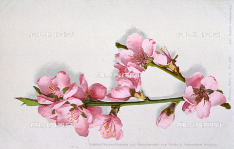 AVQ-A-000948-0059 - Flowering peach tree branch on a white ground