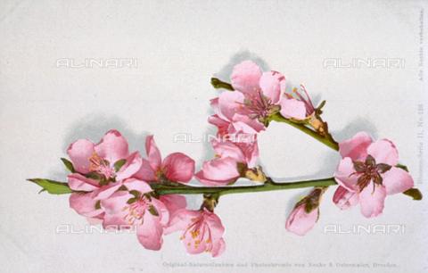 AVQ-A-000948-0059 - Flowering peach tree branch on a white ground