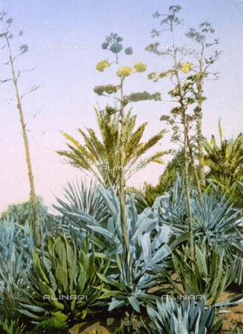 AVQ-A-000948-0064 - Flowering agave plants