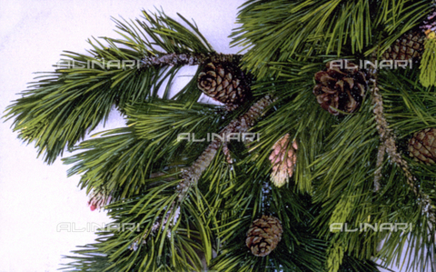 AVQ-A-000948-0067 - Ramo di pino con fiori e frutti - Data dello scatto: 1910 -1930 ca. - Archivi Alinari, Firenze