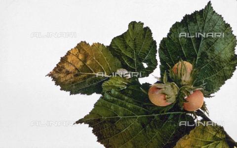 AVQ-A-000948-0068 - Rametto di nocciolo con frutti - Data dello scatto: 1910-1930 ca. - Archivi Alinari, Firenze
