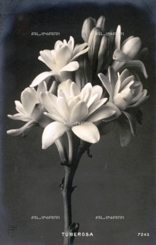 AVQ-A-000948-0071 - Close-up of white tuberose flowers on a dark ground