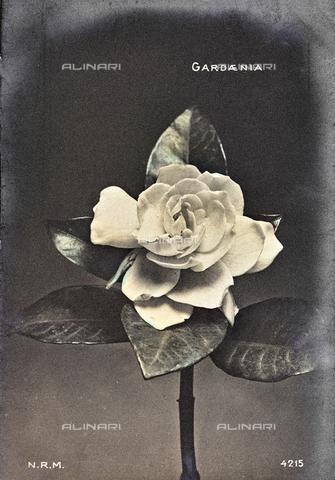 AVQ-A-000948-0074 - Primo piano di un fiore di gardenia