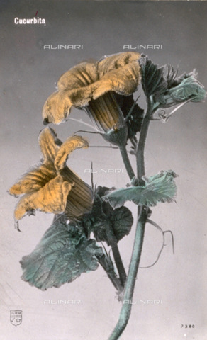 AVQ-A-000948-0102 - Two squash flowers with their characteristic golden yellow color on a stem