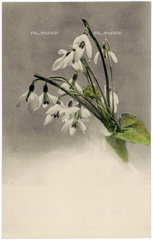 AVQ-A-000948-0105 - Flowering snowdrops
