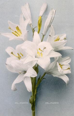 AVQ-A-000948-0140 - Flowering lillum