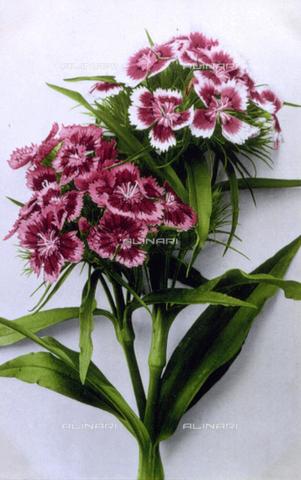 AVQ-A-000948-0153 - Due tipi della varia gamma di colori di garofano conosciuto come 'Garofano dei Poeti' (Dianthus Barbatus).