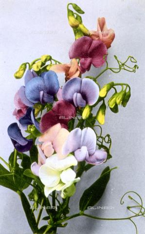 AVQ-A-000948-0154 - Tralcio di fiori di pisello odoroso, in varie tonalità di colore, su fondo bianco