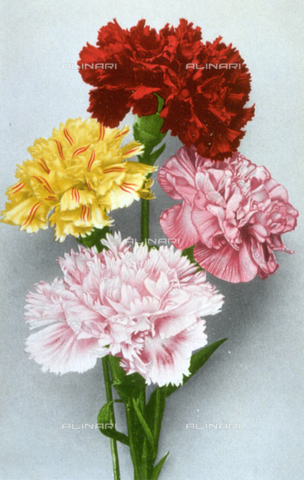 AVQ-A-000948-0165 - Four carnation flowers of different colours
