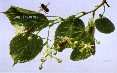 AVQ-A-000948-0233 - Bees gathering pollen from the flowers of a linden or lime-tree