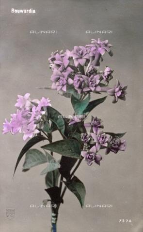 AVQ-A-000948-0269 - Ramo fiorito di bouvardia