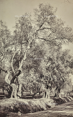 AVQ-A-000992-0148 - Olive grove in the countryside of Nice - Date of photography: 1885-1895 - Fratelli Alinari Museum Collections, Florence