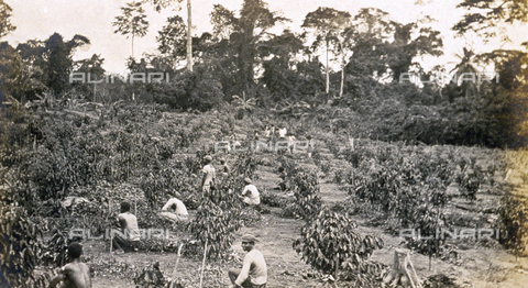 AVQ-A-001287-0010 - A group of native farm hands tilling the ground around young cacao plants, on a plantation in Ghana