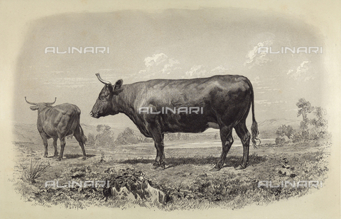 AVQ-A-001659-0008 - Devon cow participating in the 1856 Paris World's Agricultural Fair - Date of photography: 1856 - Fratelli Alinari Museum Collections, Florence
