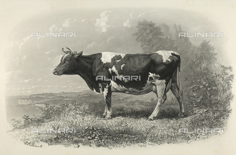 AVQ-A-001659-0011 - Guernsey cow participating in the 1856 Paris World's Agricultural Fair - Date of photography: 1856 - Fratelli Alinari Museum Collections, Florence