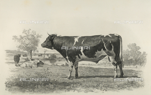 AVQ-A-001659-0014 - Ayr bull participating in the 1856 Paris World's Agricultural Fair - Date of photography: 1856 - Fratelli Alinari Museum Collections, Florence
