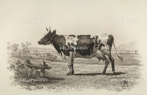 AVQ-A-001659-0015 - Ayr cow participating in the 1856 Paris World's Agricultural Fair - Date of photography: 1856 - Fratelli Alinari Museum Collections, Florence
