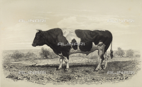 AVQ-A-001659-0022 - Dutch bull participating in the 1856 Paris World's Agricultural Fair - Date of photography: 1856 - Fratelli Alinari Museum Collections, Florence