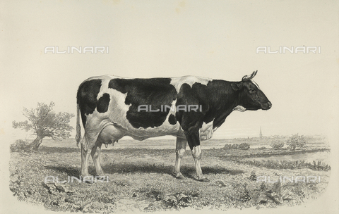 AVQ-A-001659-0023 - Dutch cow participating in the 1856 Paris World's Agricultural Fair - Date of photography: 1856 - Fratelli Alinari Museum Collections, Florence