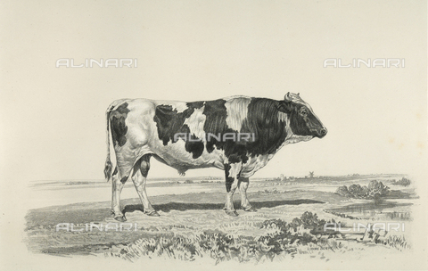 AVQ-A-001659-0024 - Jutland bull participating in the 1856 Paris World's Agricultural Fair - Date of photography: 1856 - Fratelli Alinari Museum Collections, Florence
