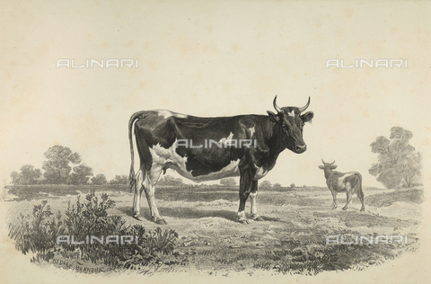 AVQ-A-001659-0025 - Jutland cow participating in the 1856 Paris World's Agricultural Fair - Date of photography: 1856 - Fratelli Alinari Museum Collections, Florence
