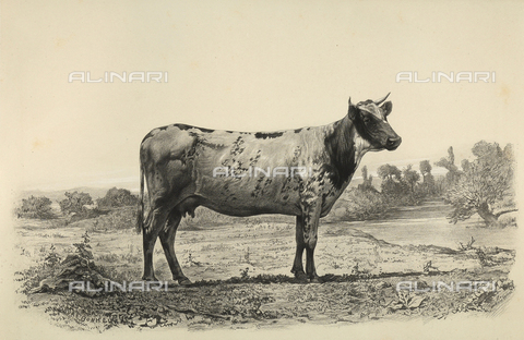 """AVQ-A-001659-0029 - """"Polders du Holstein"""" cow participating in the 1856 Paris World's Agricultural Fair - Date of photography: 1856 - Fratelli Alinari Museum Collections, Florence"""