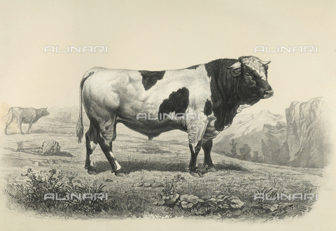 AVQ-A-001659-0032 - Freiburg bull participating in the 1856 Paris World's Agricultural Fair - Date of photography: 1856 - Fratelli Alinari Museum Collections, Florence