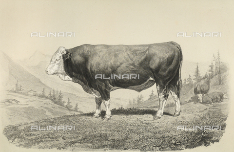 AVQ-A-001659-0034 - Bern bull participating in the 1856 Paris World's Agricultural Fair - Date of photography: 1856 - Fratelli Alinari Museum Collections, Florence
