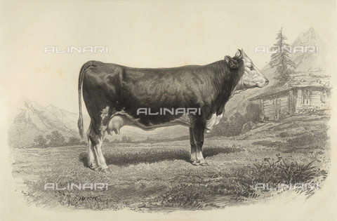 AVQ-A-001659-0035 - Bern cow participating in the 1856 Paris World's Agricultural Fair - Date of photography: 1856 - Fratelli Alinari Museum Collections, Florence