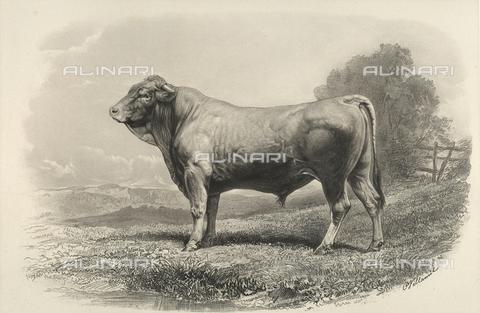 AVQ-A-001659-0040 - Toro di Glane partecipante al concorso universale agricolo di Parigi nel 1856 - Data dello scatto: 1856 - Archivi Alinari, Firenze