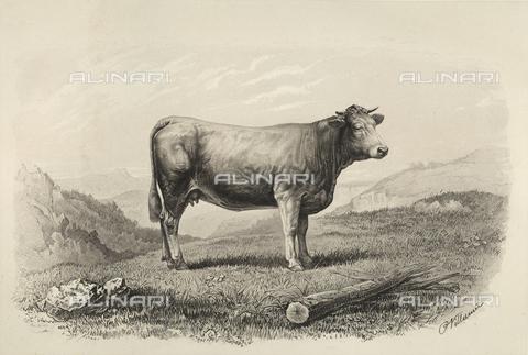 AVQ-A-001659-0041 - Vacca di Glane partecipante al concorso universale agricolo di Parigi nel 1856 - Data dello scatto: 1856 - Archivi Alinari, Firenze