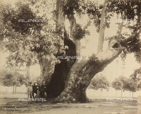 """AVQ-A-001826-0019 - """"Souvenir de Costantinople"""": l'albero di Jannissaires - Data dello scatto: 1860-1890 ca. - Archivi Alinari, Firenze"""