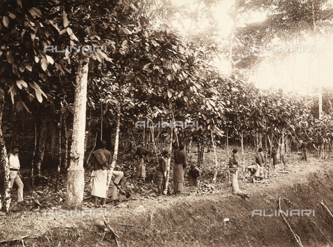 AVQ-A-001875-0041 - A group of African workers harvesting cocoa on a plantation in Agua-izè, island of Sao Tomè, west side of Africa
