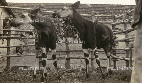 AVQ-A-002290-0077 - Okapis held in captivity in the Catholic mission in Buta, in the Belgian Congo (today's Zaire)
