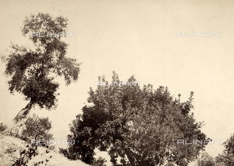 AVQ-A-002966-0091 - Alberi di olivo a Sorrento - Data dello scatto: 1854-1863 ca. - Archivi Alinari, Firenze