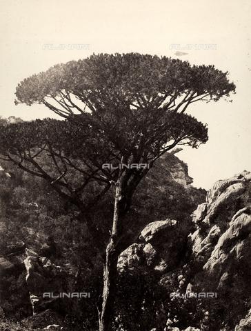 AVQ-A-002966-0093 - Rocky landscape with cluster pines (Pinus pinaster), Sorrento. - Data dello scatto: 1854-1863 ca. - Archivi Alinari, Firenze