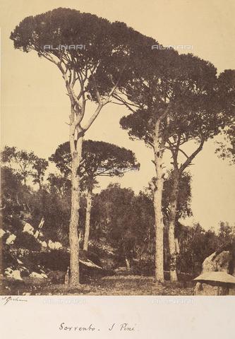 AVQ-A-002966-0094 - Cluster pines (Pinus pinaster) in Sorrento. - Data dello scatto: 1854-1863 ca. - Archivi Alinari, Firenze