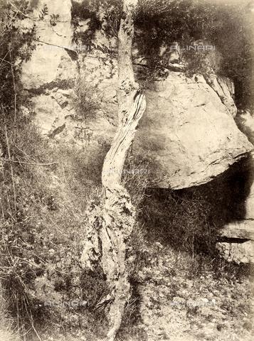 AVQ-A-002966-0095 - Il tronco di un albero di olivo, Sorrento. - Data dello scatto: 1854-1863 ca. - Archivi Alinari, Firenze
