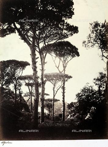 AVQ-A-002966-0096 - Cluster pines (Pinus pinaster) in Sorrento. - Data dello scatto: 1854-1863 ca. - Archivi Alinari, Firenze