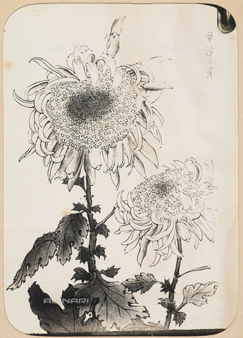 AVQ-A-003908-0027 - Riproduzione di crisantemo tratto da un album giapponese - Data dello scatto: 1909 ca. - Archivi Alinari, Firenze
