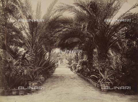 AVQ-A-004127-0045 - The Viale delle Palme (Palm Avenue) of the Botanical Gardens, in Palermo, Sicily - Data dello scatto: 1875 ca. - Archivi Alinari, Firenze