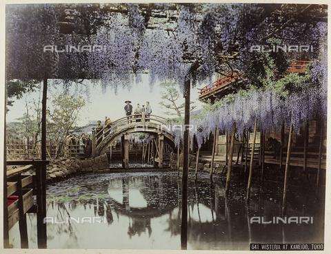AVQ-A-004838-0024 - Glicine nel parco Kamedio a Tokyo