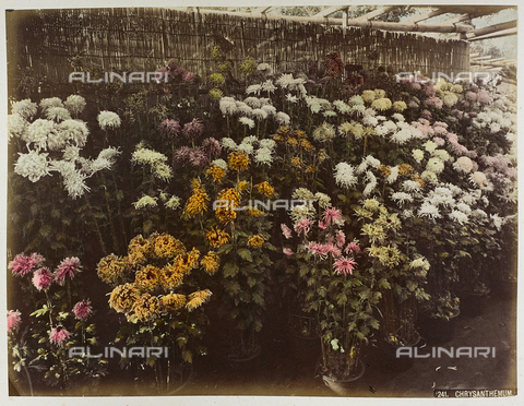 AVQ-A-004838-0094 - Plants of chrysanthemums, Japan