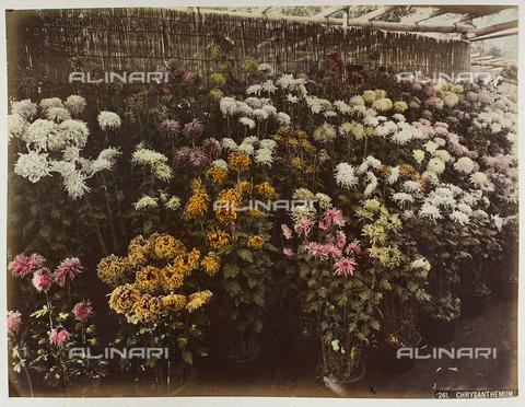 AVQ-A-004838-0094 - Plants of chrysanthemums, Japan