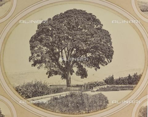 AVQ-A-004912-0043 - A big tree in the garden of Villa Vrindavana, formerly Villa Fenzi, Sant 'Andrea in Percussina, San Casciano val di Pesa - Date of photography: 1890-1900 - Fratelli Alinari Museum Collections, Florence