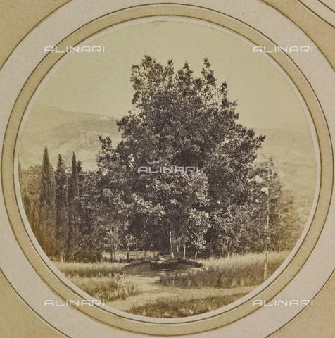 AVQ-A-004912-0044 - A big tree near Villa Vrindavana, formerly Villa Fenzi, Sant 'Andrea in Percussina, San Casciano val di Pesa - Date of photography: 1890-1900 - Fratelli Alinari Museum Collections, Florence